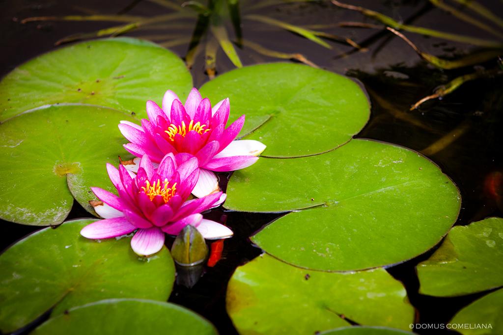 Giardino superiore domuscomelianadomuscomeliana for Fiori acquatici