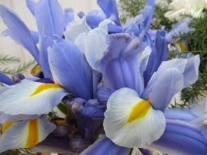 Iris domus comeliana