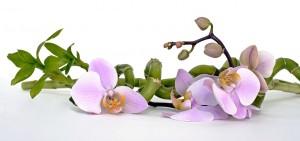 orchidea bamboo domus comeliana