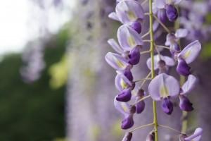 glicine fiori primaverili